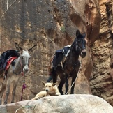 A donkey, a mule, and a dog stand watch in the Siq leading into Petra.