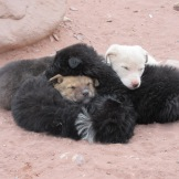 A ball of Petra puppies, keeping warm by huddling together.