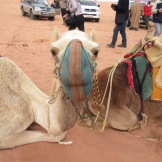 Camels in Wadi Rum.